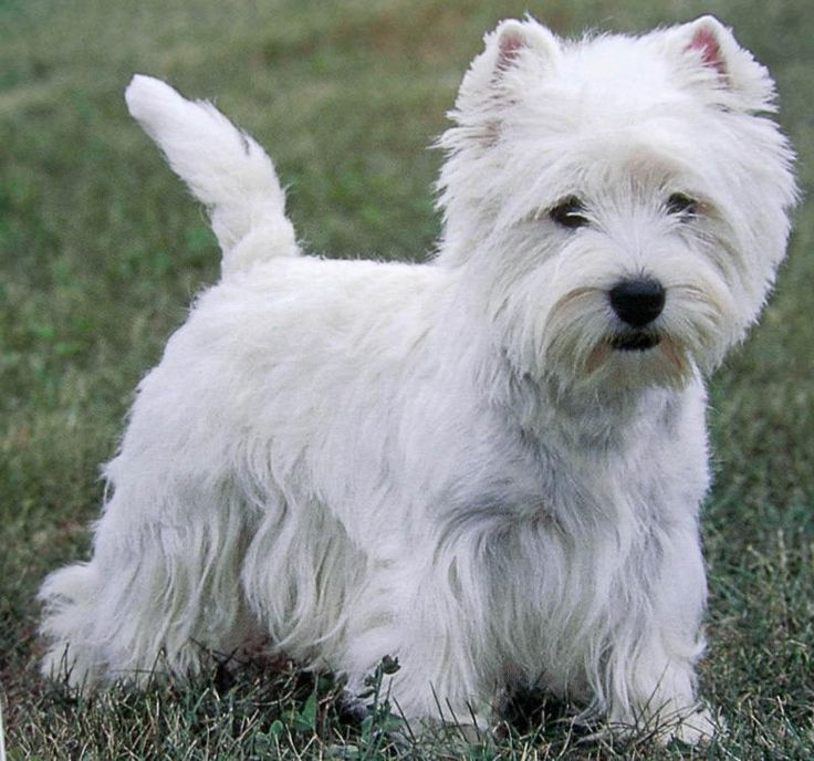 West Highland White Terrier... my mama used to breed these. So funny & sweet. :)