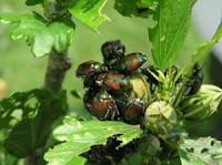 "Get Rid of Japanese Beetles With a Homemade Repellent. This site has lots of ""natural"" ways."