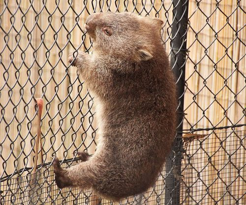 Body builder wombat