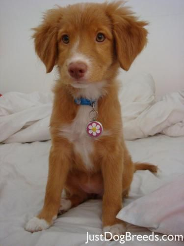 Nova Scotia Duck Tolling Retriever puppy. I decided this is what I want next year when I can get a dog. So precious.