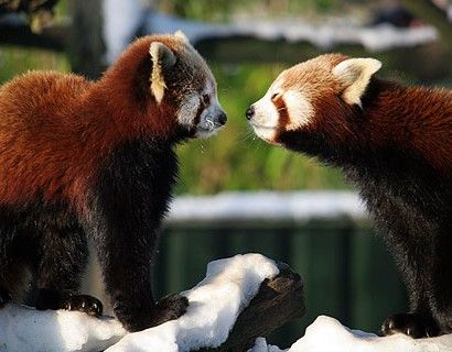 Twee Rode Panda's uit Dierenrijk begroeten elkaar in de sneeuw.
