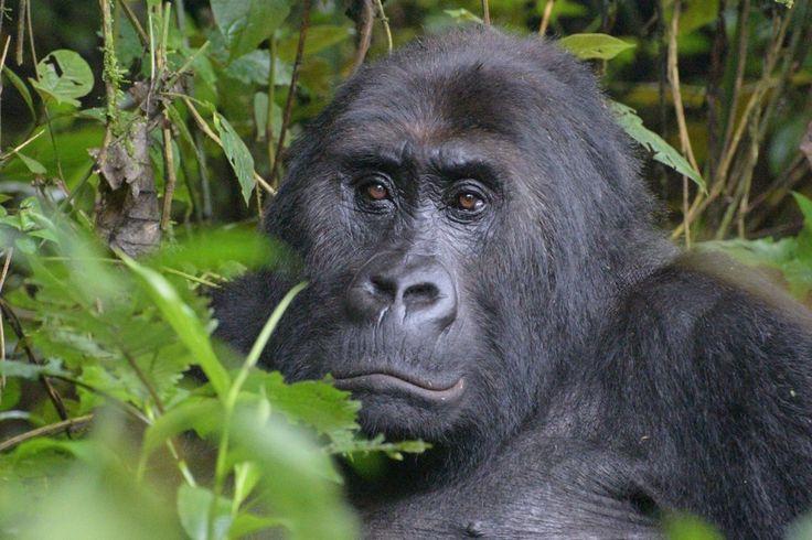 World's largest gorilla moved to 'critically endangered' status - The Washington…