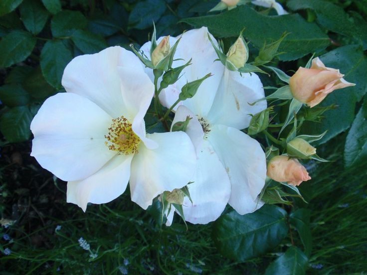 Rosa 'Sally Holmes', described and illustrated in the plant guide of my website http://www.aboutgardendesign.com