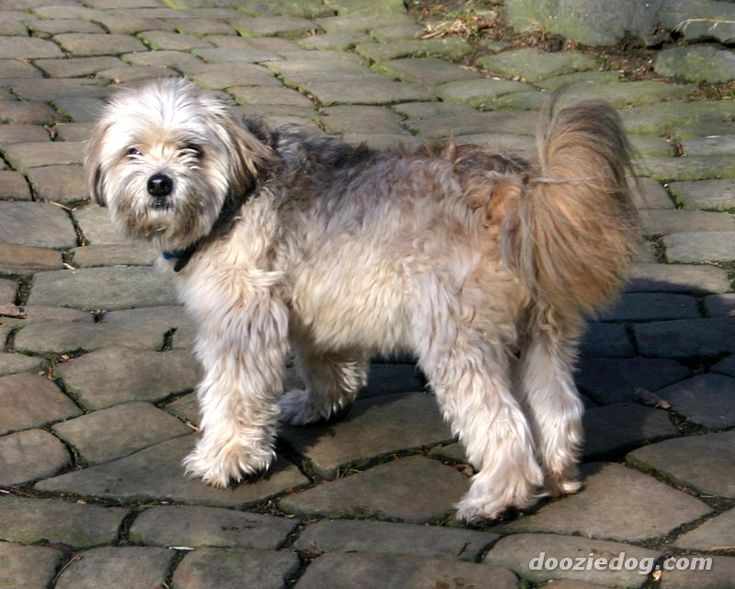 Lion Dog Breed Name