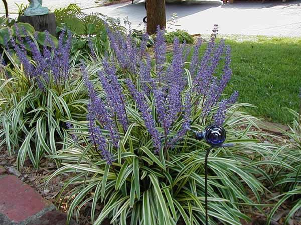 Even the monkey grass - lirope This plant is as bullet proof as it gets. Cut it back to ground level in January or February. Divide it every few years. It's very drought tolerant but responds nicely to water and light feeding.