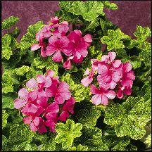 HOBBS FARM AND GREENERY - IVY, BALCON AND ALPINE GERANIUM PLANTS