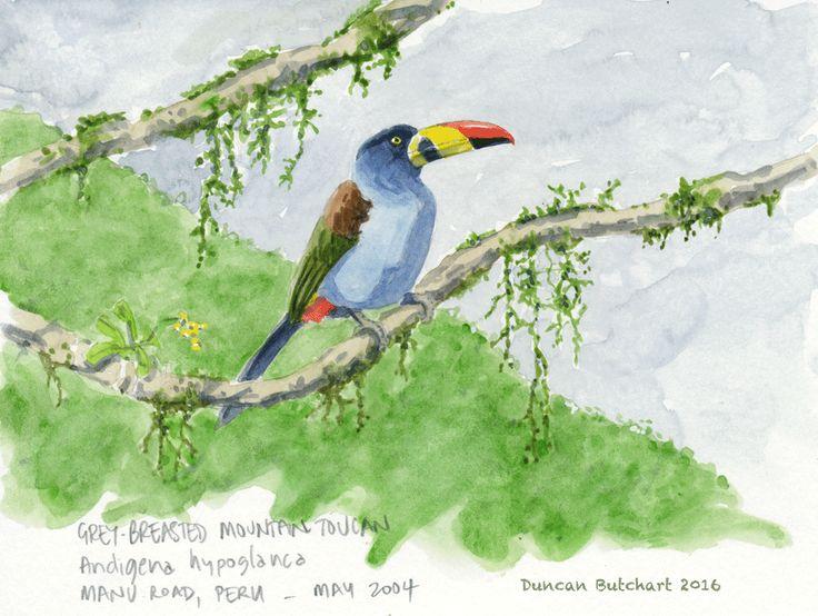 Gray-breasted Mountain-Toucan (Andigena hypoglauca), Manu Road Peru.
