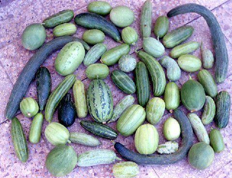 Da secoli, in Puglia si consumano i frutti di popolazioni locali di melone immaturo in alternativa al cetriolo.   #food #gastronomia #cucina #puglia