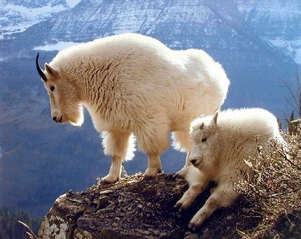 Pair of Mountain Goats glacier national park Animal Wall…