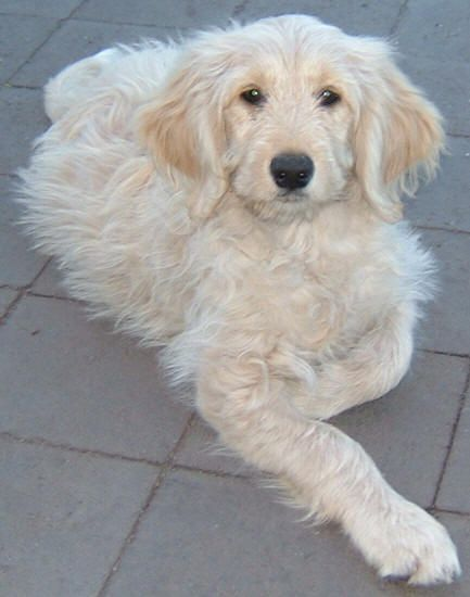 Labradoodle Pictures - Pictures of Labradoodles