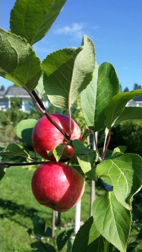 Pikku-Pirja teki heti ihania omenoita