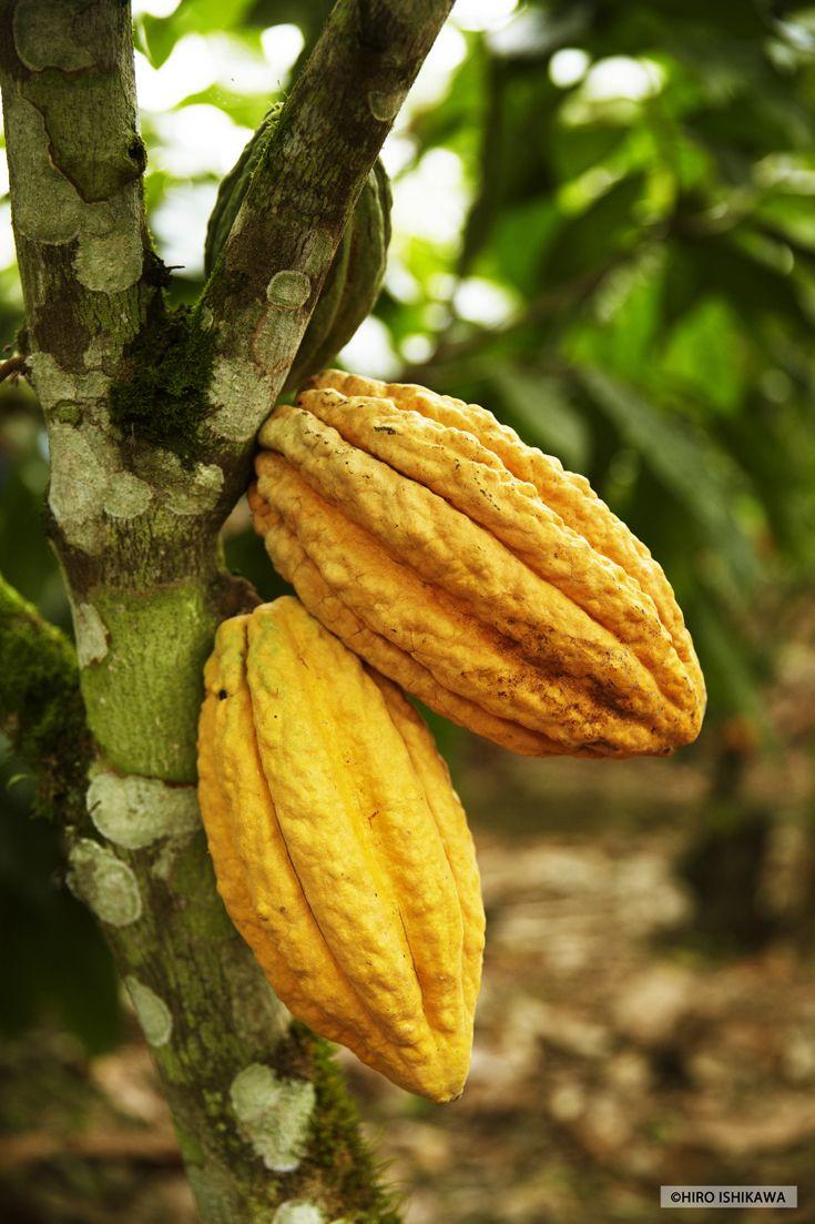 Nacional cacao