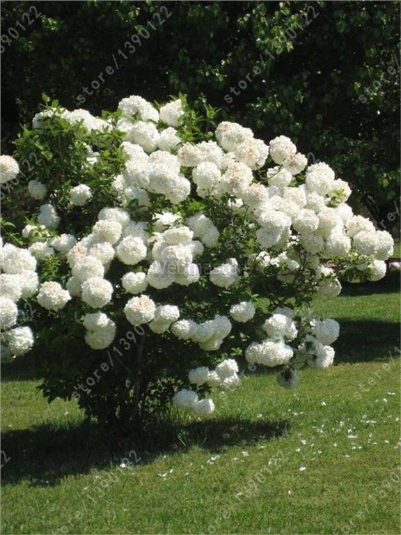 Annons på Tradera: 20st frön kinesiska Hydrangea blommor - Vit