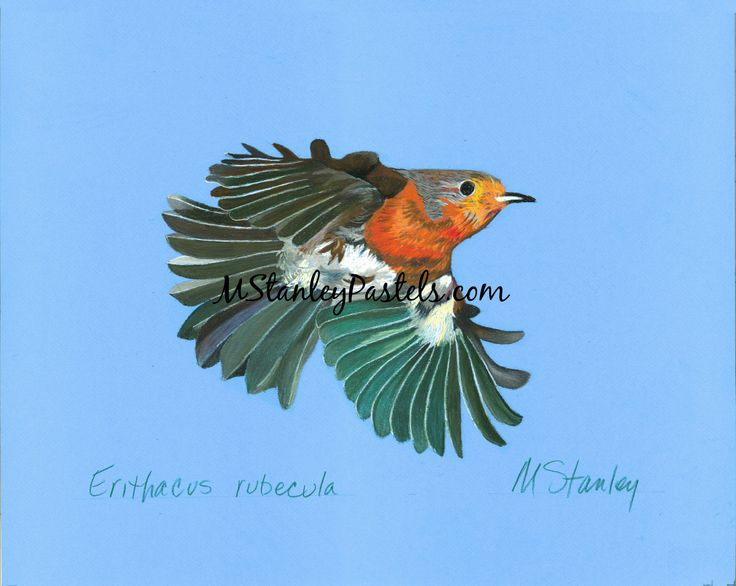 Pastel drawing of the bird robin Erithacus rubecula. Wish to purchase it? Please go to http://www.etsy.com/shop/mstanleypastels