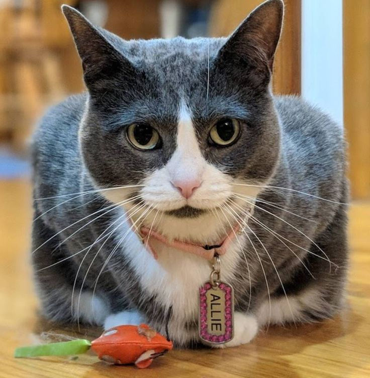 The mouse isn't PINK. Return it please. #picky #cats #girlcats #caturday #lovecats #kitty
