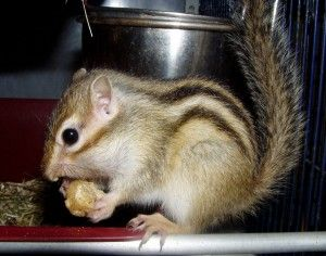 Tamia sibiricus - L'écureuil de Corée
