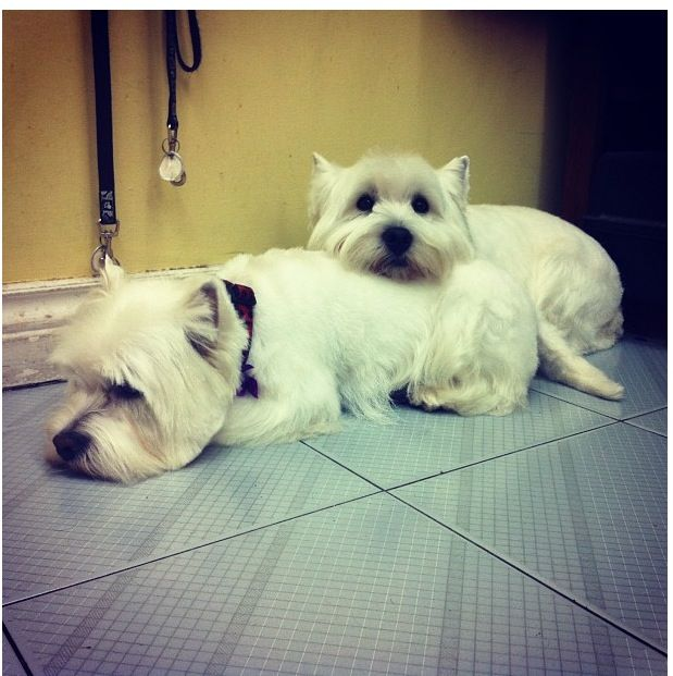 Benji Faze Rug Dog Breed: 1000+ Images About Love Westies On Pinterest