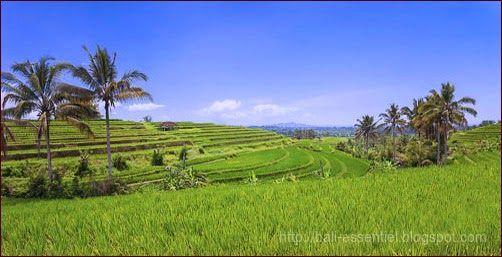 bali culture du riz  #voyage_bali #bali_rizieres #rizieres_en_terrasse