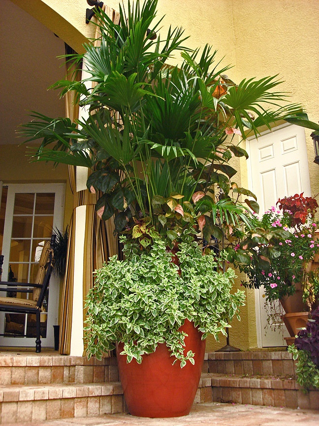 Very Large Pots Planted With Chinese Fan Palms, Baby Sun Rose And Copper  Leaf