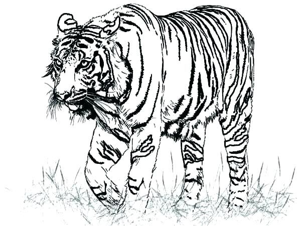 Tiger Coloring Pages Ideas With Awesome Pattern Animal Coloring Pages Shark Coloring Pages Realistic Animal Drawings
