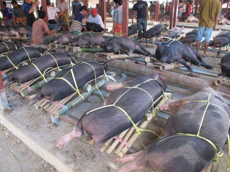 Pig Factory Farm
