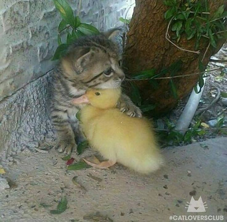 "from KevlarYarmulke | Reddit ""Kitten and duckling""  ~ double tap ❤❤ Shop for Cat Lovers  @happypetclub bio  #catloversclub"