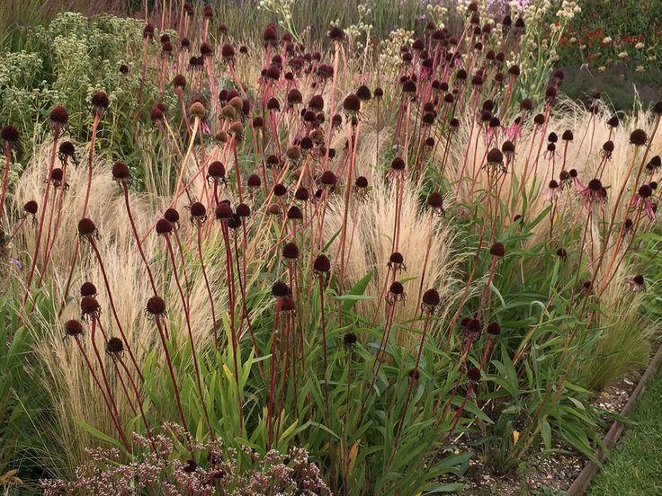 Echinacea pallida and Stipa tenuissima