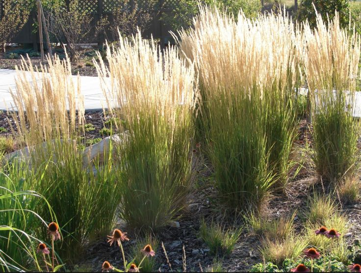 Perennial Grasses For Alberta : Best images about lyons site plan mandolin on