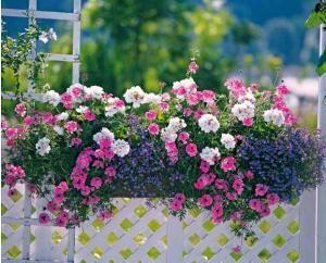 """COLLECTION DE 6 PLANTES """"COULEURS PASTEL"""" POUR JARDINIÈRE Spécial jardinières ! 2 verveines roses + 2 géraniums blancs + 2 lobélias bleus. Composition aux coloris assortis permettant de composer très facilement une superbe jardinière"""