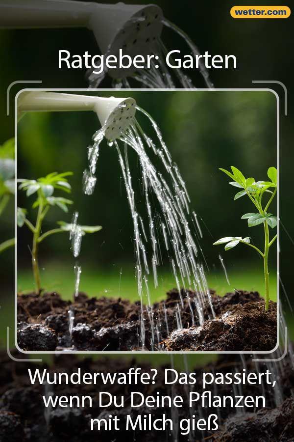 Wunderwaffe Das Passiert Wenn Du Deine Pflanzen Mit Milch Giesst Pflanzen Pflanzen Giessen Garten