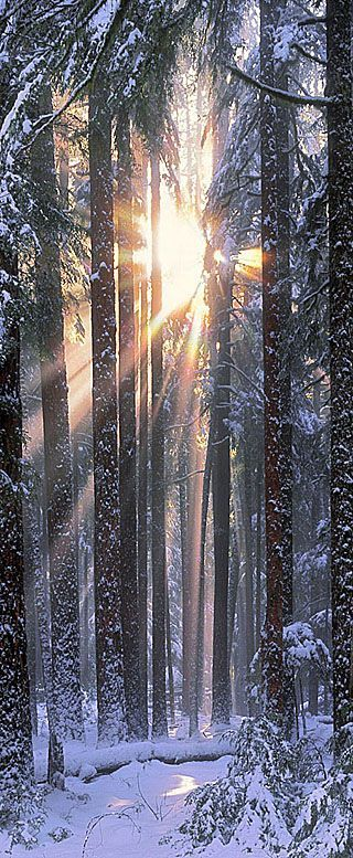 ✯ Solstice in the Olympic National Park of northwestern Washington  .  My favorite light in the forest...