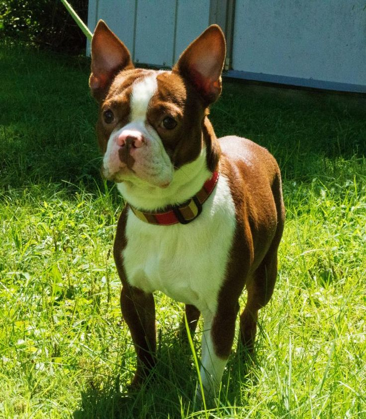 Meet Remy-ADOPTED!!!!!!!, a Petfinder adoptable Boston Terrier Dog | Hamilton, NJ | ***WE ARE NO LONGER ACCEPTING APPLICATIONS FOR REMY.  IF YOU HAVE APPLIED AFTER SEPT. 10TH, 2013,...