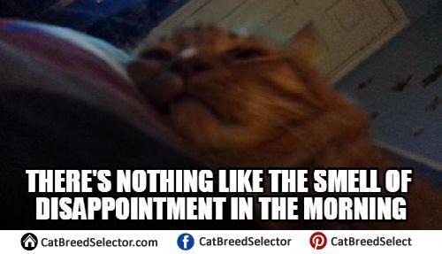 Angry Cat Memes | Cat Breed Selector