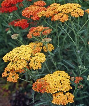 8 flowering plants that are drought tolerant - Yarrow (Achillea millefolium)