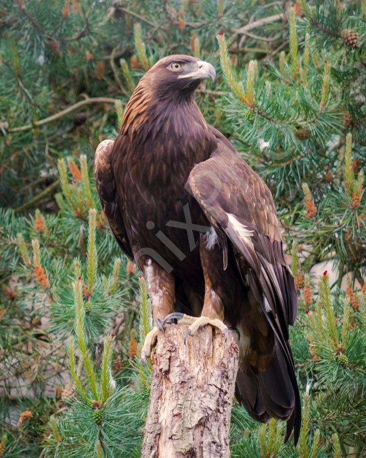 Proud Golden Eagle
