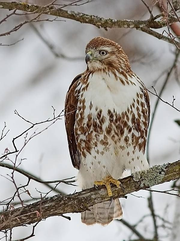 Gorgeous Red tail hawk