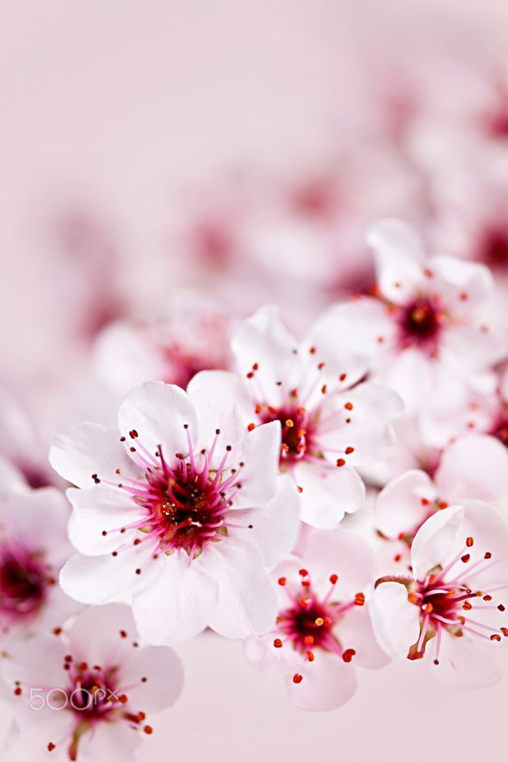 Cherry blossoms Cluster of delicate pink cherry bl…