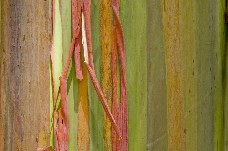 Eucalipto arcobaleno #cortecce #tronchi #alberi #natura