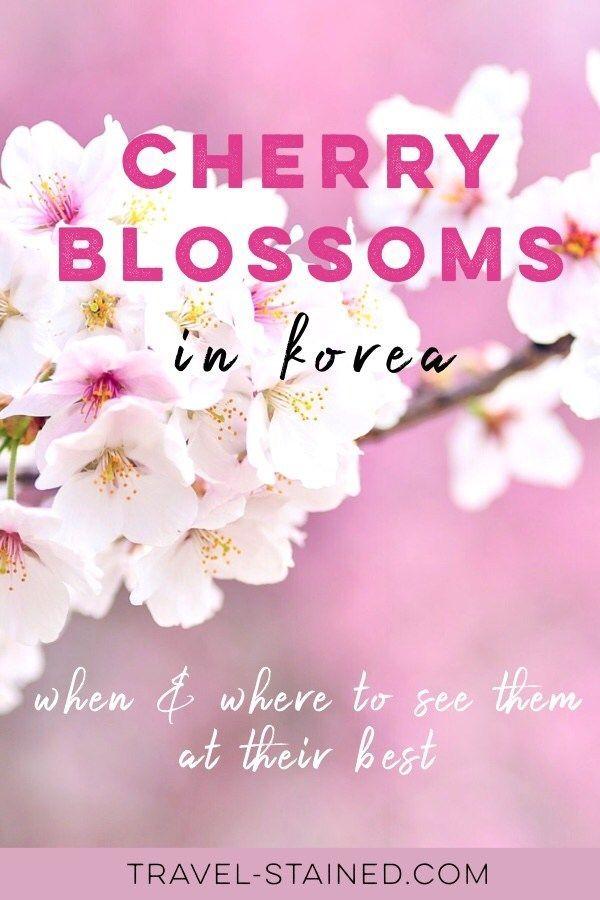 8 Splendid Spots To See Cherry Blossoms In Korea In 2021 Travel Stained Asia Travel Korea Travel Travel Destinations Asia