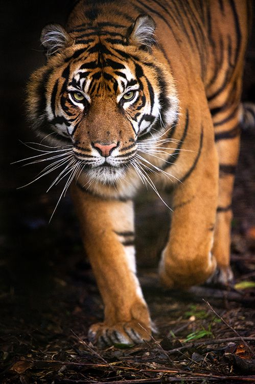 Tiger, Chester Zoo 21/12/12 (by Dave learns his Dig SLR?)
