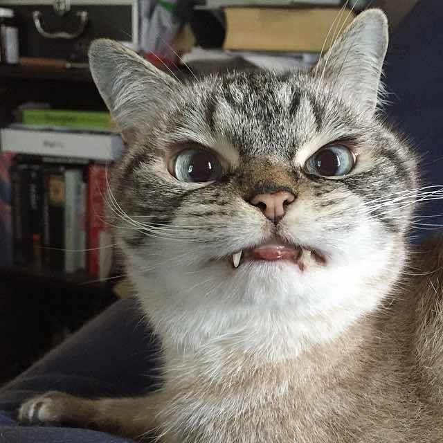 いい顔してる牙のある猫ロキ