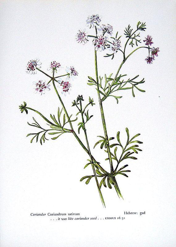 Coriander Vintage 1957 Botanical Print with by mysunshinevintage, $10.00