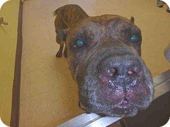 Naples, FL - Cane Corso. Meet THUNDER, a dog for adoption. http://www.adoptapet.com/pet/17065888-naples-florida-cane-corso