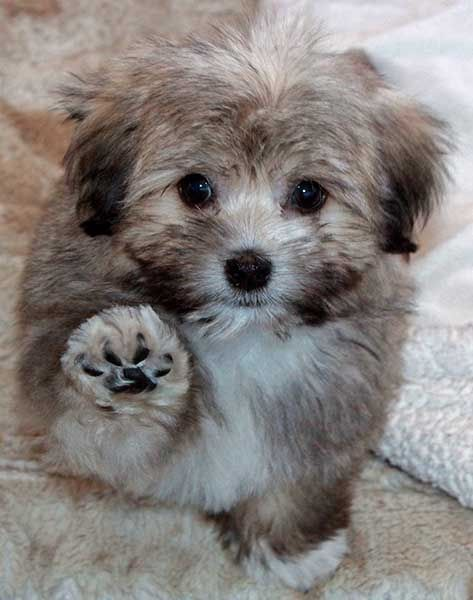 havanese puppies for sale - photo #37