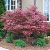 Bloodgood Japanese Maple Tree for Sale | Fast Growing Trees