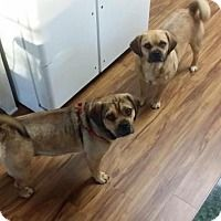 Pictures of Emit a Pug/Beagle Mix for adoption in Acworth, GA who needs a loving home.