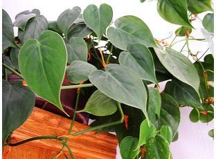 Rostlina | Filodendron, Philodendron
