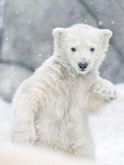 .Little Polar Bear.