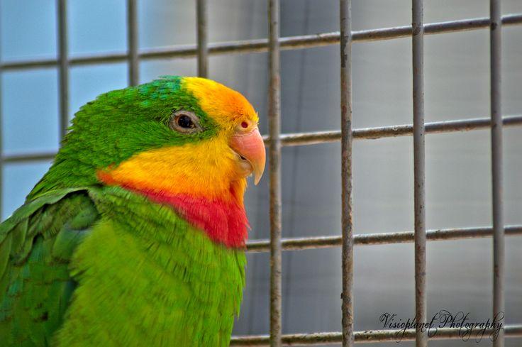 The true parrot #Birds #Hyderabad #Nature #NaturePhotography #RamojiFilmCity #WildlifePhotography