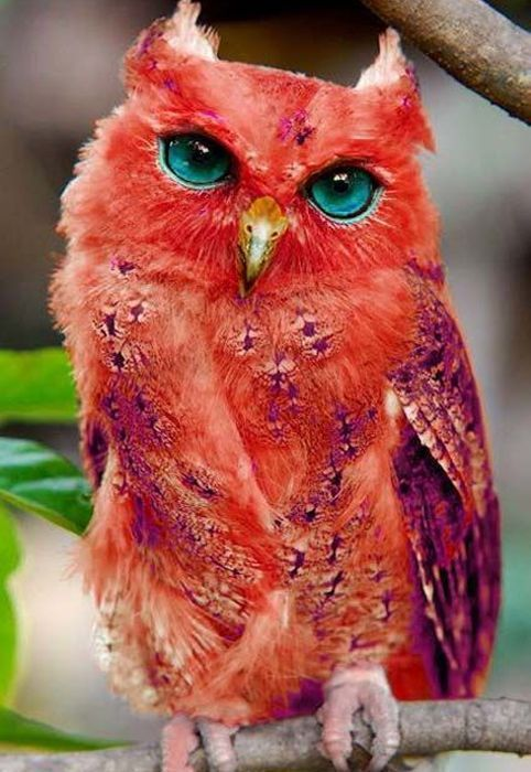 Very Rare Red Owl / Owl, Blue Eyes and Red